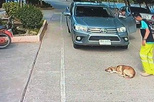 Chó nằm ườn ngủ trưa chặn đường ô tô và cái kết bất ngờ