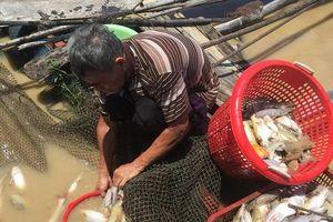 Cá nuôi bè lại chết trắng trên sông La Ngà (tỉnh Đồng Nai)