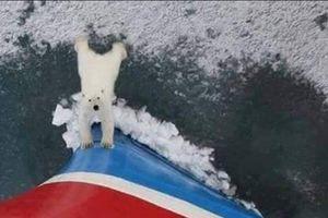 Xót xa bức ảnh chú gấu Bắc Cực cố đẩy du thuyền ra khỏi nơi ở của mình