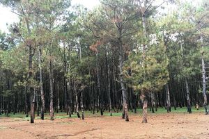 Phát hiện 150 ha rừng thông bị xâm hại