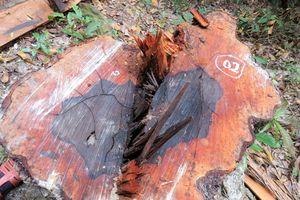 Khởi tố thêm 6 bị can phá rừng lấy gỗ mun tại Phong Nha - Kẻ Bàng