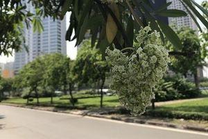 Hà Nội đẹp ngỡ ngàng mùa hoa sữa giữa tháng 5