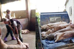 Hà Tĩnh xuất hiện ổ dịch tả lợn Châu Phi đầu tiên