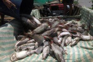 Đã thống kê thiệt hại ban đầu sự cố cá chết trên sông La Ngà
