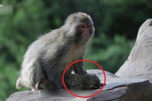 Clip: Khỉ mẹ đau đớn ôm con chết yểu khiến người xem rơi lệ