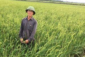 Nhờ liên kết, lúa chất lượng cao của Lũng Sơn ổn định đầu ra