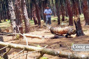 Cả trăm héc-ta rừng thông bị bức tử