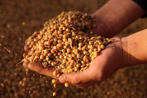 Căng thẳng thương mại Mỹ-Trung:Nông dân trồng đậu tương ở Mỹ điêu đứng