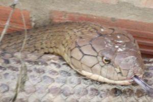 Tìm nơi phù hợp thả cặp rắn hổ mang chúa 'khủng' ở núi Cấm về tự nhiên