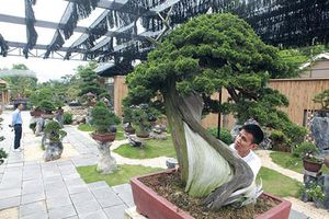Đại gia Bắc Giang chi tiền tỷ mua cây duyên tùng Nhật Bản 700 tuổi