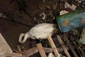 Thiên nga Hải Phòng gục trên bãi rác sông Tam Bạc