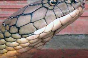 Vụ cặp rắn khổng lồ bị bắt ở An Giang: Sẽ thả về núi Cấm?