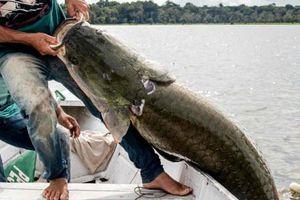 Ảnh động vật: Cá hải tượng 'khủng' sa lưới, trăn 'nghỉ dưỡng' trên cỏ...