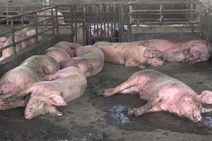 Hậu Giang tiêu hủy hơn 1.200 con lợn do dịch tả lợn châu Phi