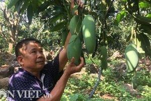 Ghép xoài Đài Loan lên gốc xoài ta ra trái 'khổng lồ' thu hơn 3 tỷ