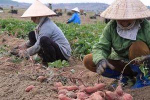 Khoai lang Nhật phủ ruộng hoang, dân không lo hạn mà thu trăm triệu