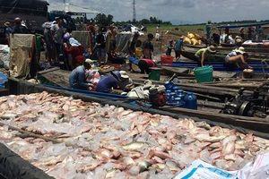 Vụ cá bè chết trắng trên sông La Ngà: Số lượng lên đến gần 1.000 tấn