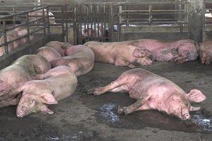 Xuất hiện thêm ổ dịch, Hậu Giang tiêu hủy hơn 1.200 con lợn
