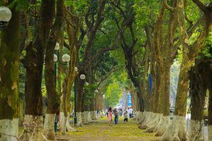Ngắm những vòm cây đẹp như cổ tích ở Hà Nội