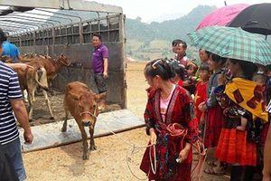 Trao 80 con bò giống sinh sản cho người dân huyện Tủa Chùa