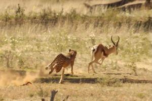 Báo săn tăng tốc nhanh như chớp vồ gọn linh dương