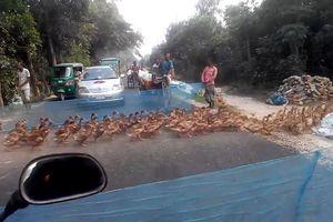 Căng lưới cho đàn vịt băng qua đường