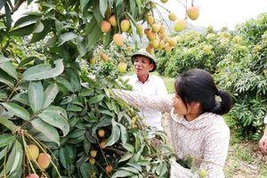 15.300ha vải thiều Lục Ngạn được cấp mã số vùng trồng và tem xuất khẩu