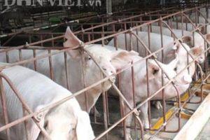 Giá heo hơi 23/5: Vài nơi giảm, giá thịt lợn thế giới đang tăng vọt