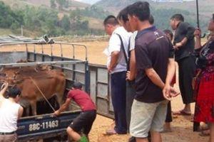 Trao 80 con bò giống trị giá 1, 2 tỷ cho hộ nghèo vùng cao