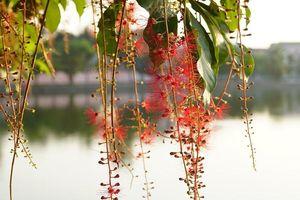 Xao xuyến những 'thảm hoa' lộc vừng đỏ rực trên phố Vinh