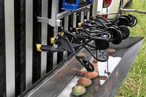 Australia thử nghiệm robot hái xoài, giải quyết khó khăn về nhân lực