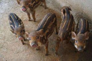Hà Giang: Nuôi loài lợn rừng sọc lửa, có con nào lái khênh đi con đó