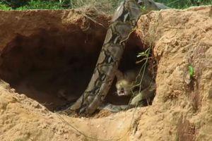Mèo mẹ 'sống chết đến cùng' bảo vệ đàn con trước trăn hung bạo