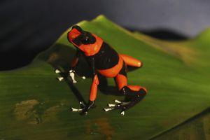 Colombia nhân giống ếch độc quý hiếm để chiến đấu với nạn buôn lậu
