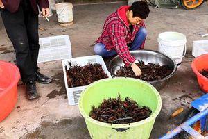 'Đột nhập' thủ phủ nuôi tôm hùm đất ở Trung Quốc