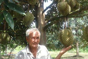 Cần Thơ: Vườn sầu riêng thu bạc tỷ của lão nông 71 tuổi