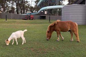 Bất ngờ dê trắng và ngựa lùn 'dính' nhau như keo