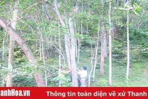 Huyện Lang Chánh: Khai thác tiềm năng, lợi thế phát triển rừng trồng gỗ lớn
