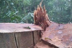 Cây gỗ nghiến trên 100 năm tuổi bị đốn hạ tại Lào Cai
