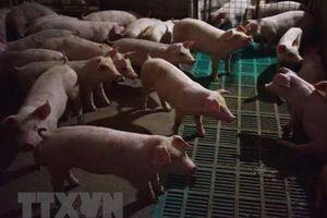 Phát hiện ổ dịch tả lợn châu Phi tại Sóc Trăng