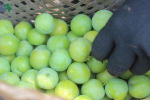 Mùa thu hoạch mận, nông dân Sơn La bỏ túi hàng chục triệu đồng