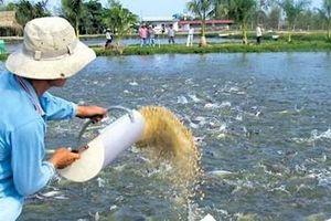 Doanh nghiệp cá tra ra sức đầu tư vào vùng nuôi