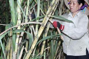 'Bà đỡ' mát tay hỗ trợ nông dân vượt khó, làm giàu ở Ngọc Mỹ