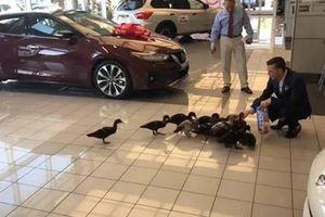 Đại lý xe ôtô tại Mỹ ôtô nuôi vịt để câu khách