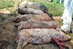 Đồng Tháp: Tiếp tục phát hiện các ổ dịch tả lợn châu Phi