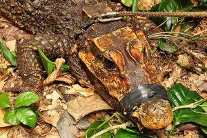 Kỳ lạ loài cá sấu màu cam, sống ẩn dật trong hang sâu