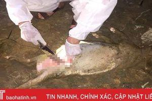 Mẫu lợn chết trôi trên kênh ở Thạch Hà dương tính vi - rút tả lợn châu Phi