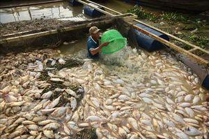 Gần 1.000 tấn cá bè chết trên sông La Ngà là do thay đổi môi trường nước đột ngột