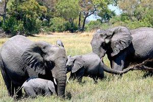 Botswana dỡ lệnh cấm, hàng chục nghìn voi châu Phi lại vào tầm ngắm các tay săn