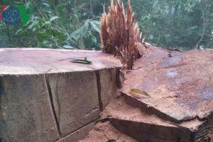 Chặt trộm gỗ nghiến hàng trăm tuổi lấy tiền tiêu xài